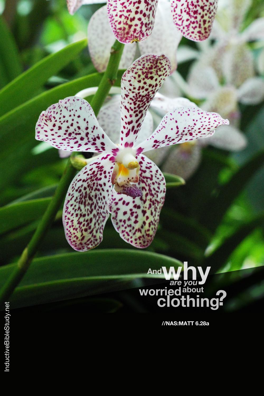 Matthew 6:28a - orchid
